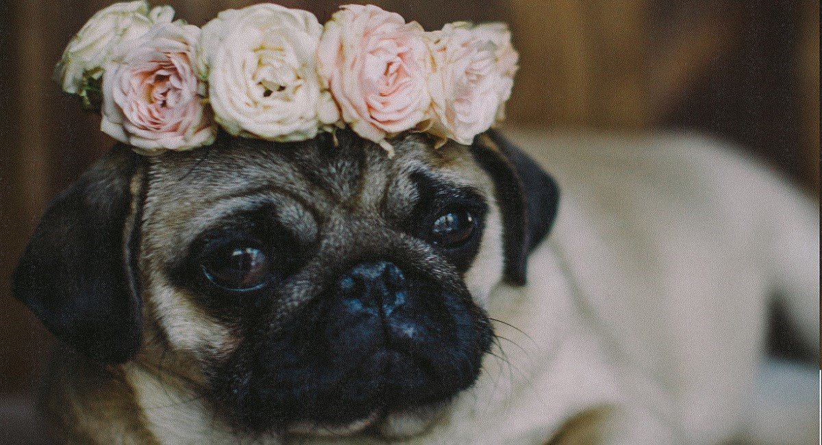 Pug puppy with pink rose bouquet on head.