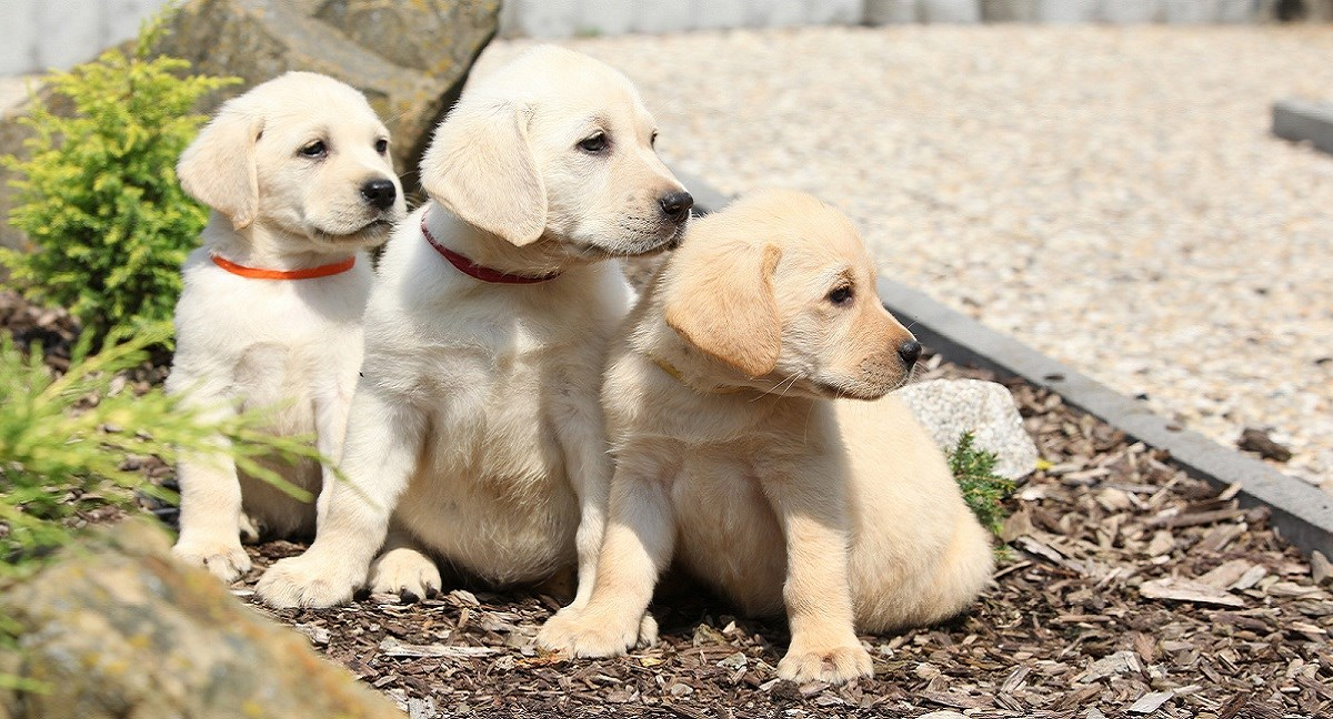 Three yellow Labradors sitting in a planter.