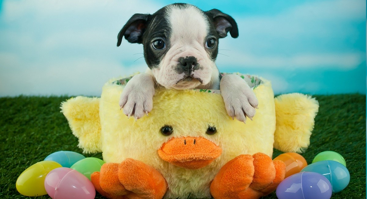 Boston terrier puppy sitting in easter cup surrounded by eggs