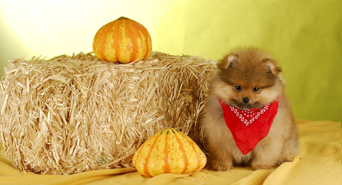 Pomeranian puppy with pumpkin