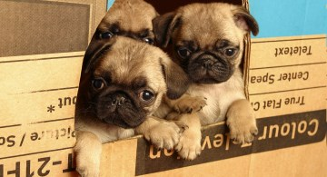 Fawn pug puppies at window cut in cardboard box