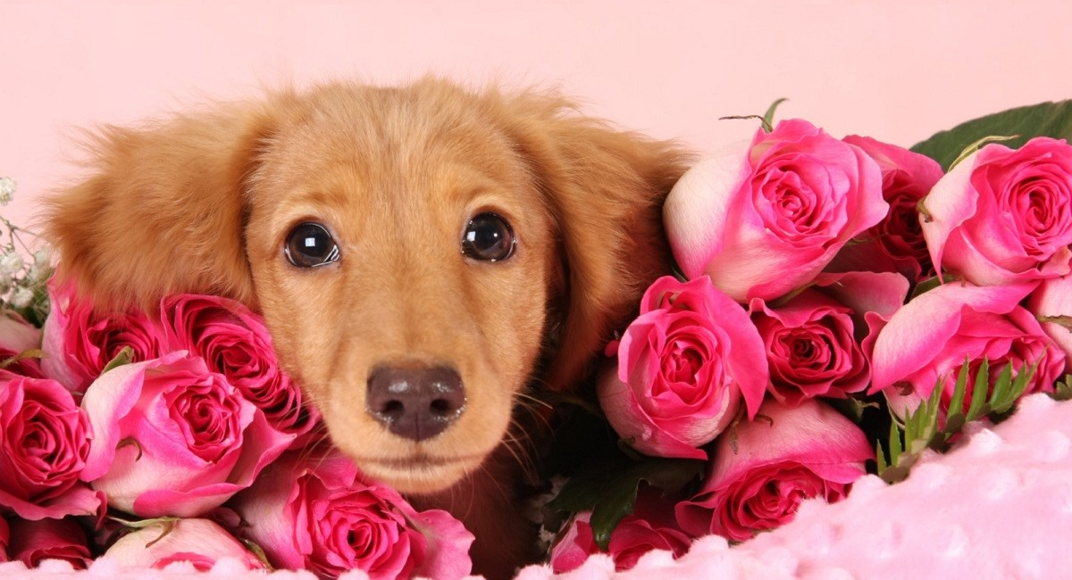 Dachshund puppy with pink roses.