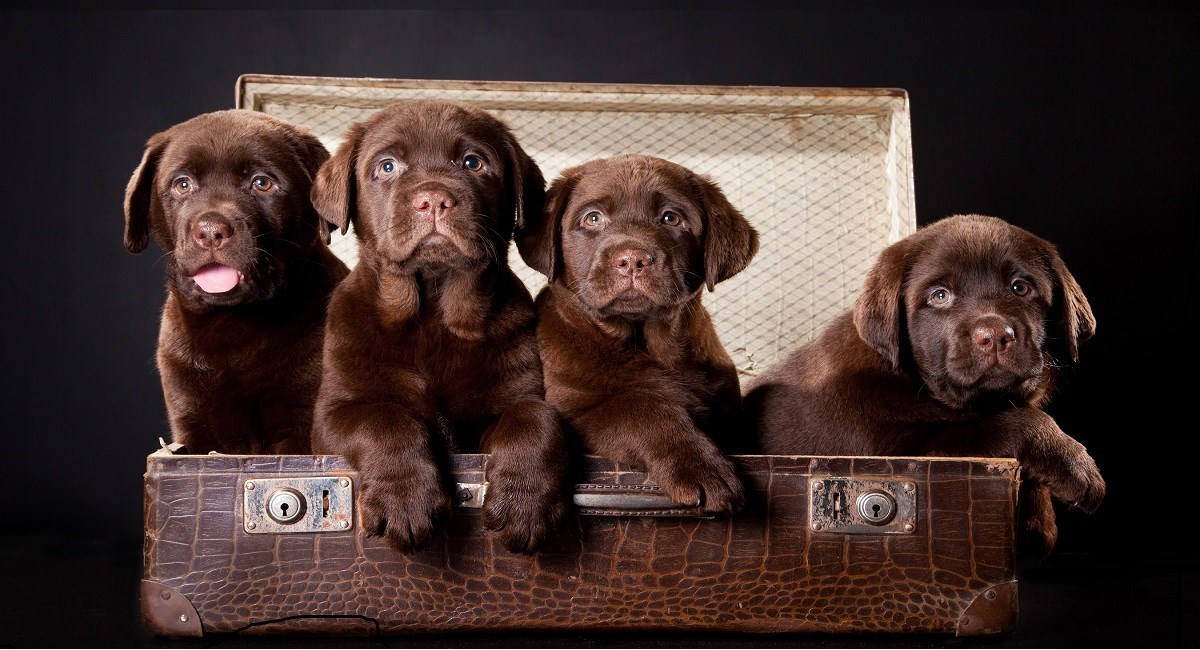 Four chocolate Labrador pups sitting in a suitcase