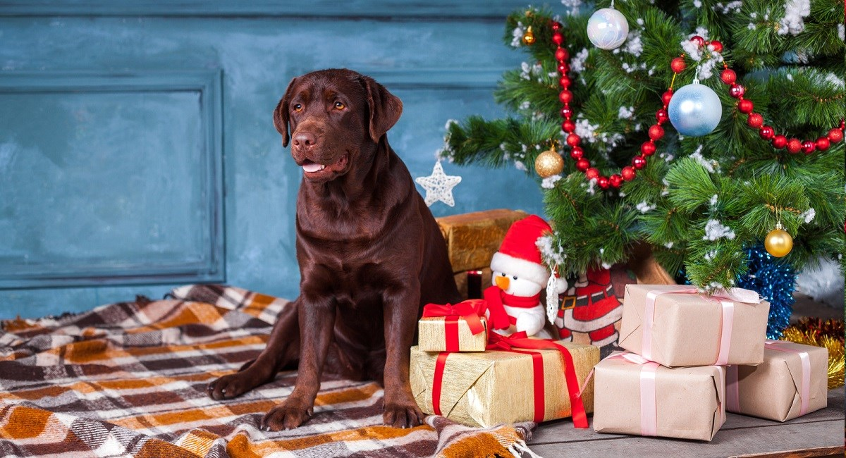 Labrador Retriever dog guarding Christmas present