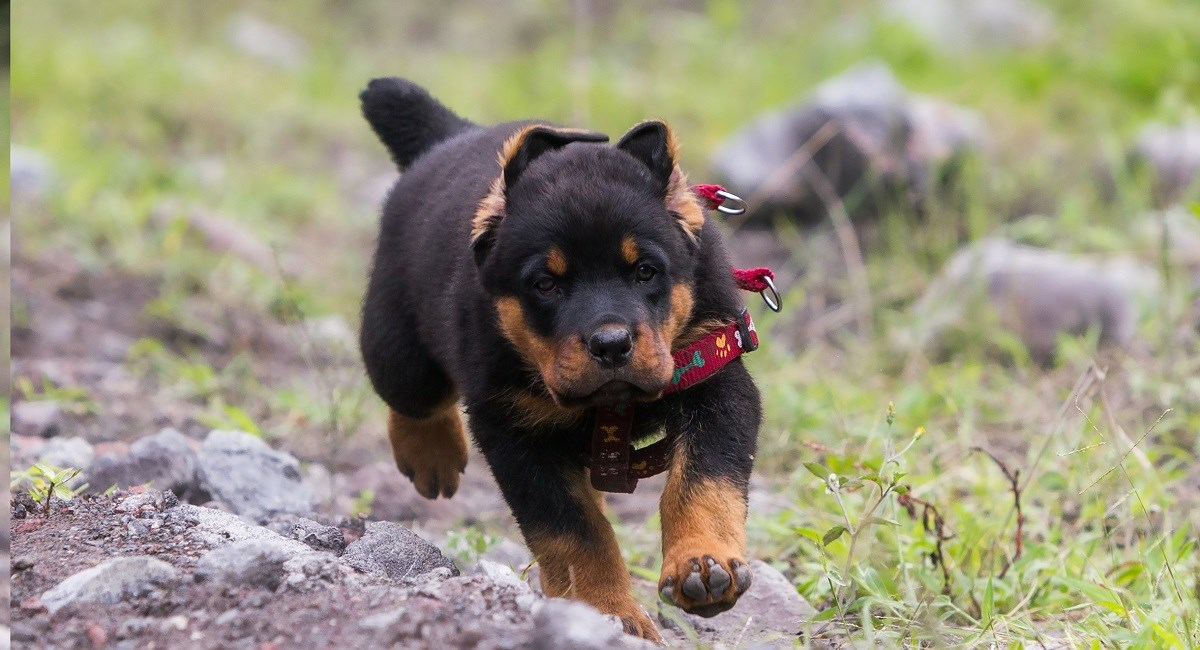 Determined Rotweiler puppy running