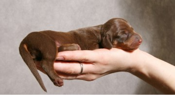 Small Dachshund puppy held in a hand