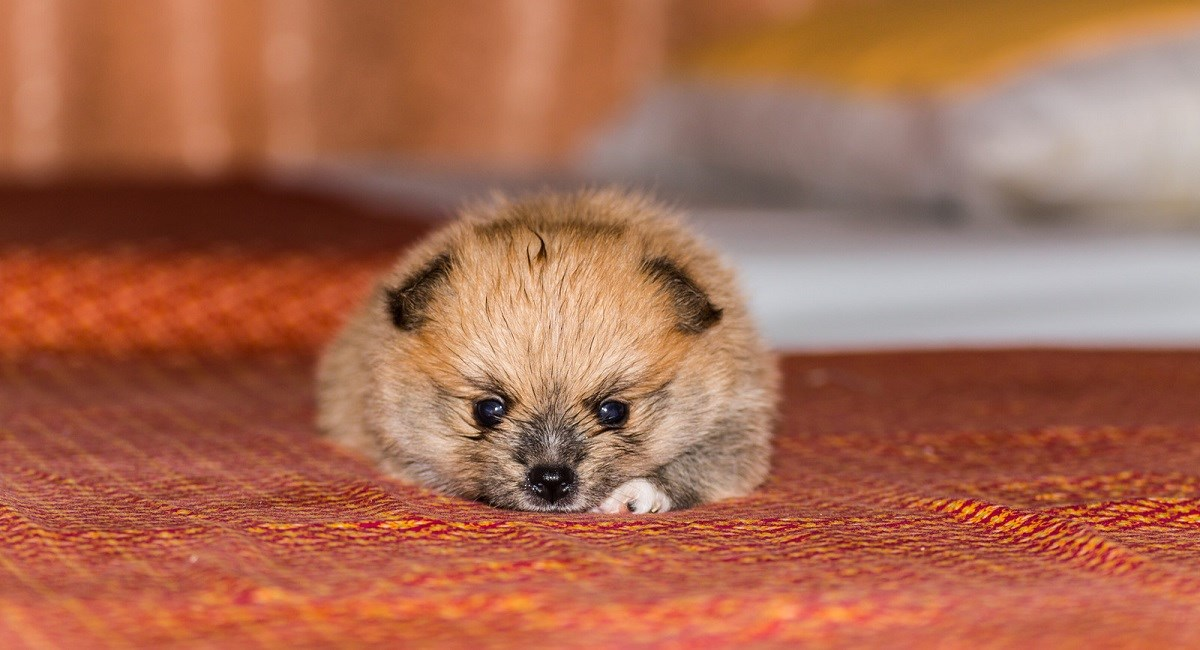 Pomeranian Puppy that looks like a hedgehog