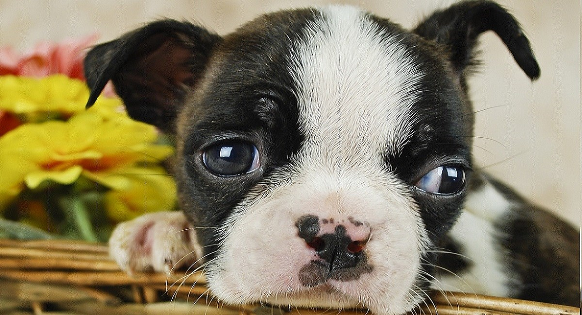Boston terrier puppy mug shot