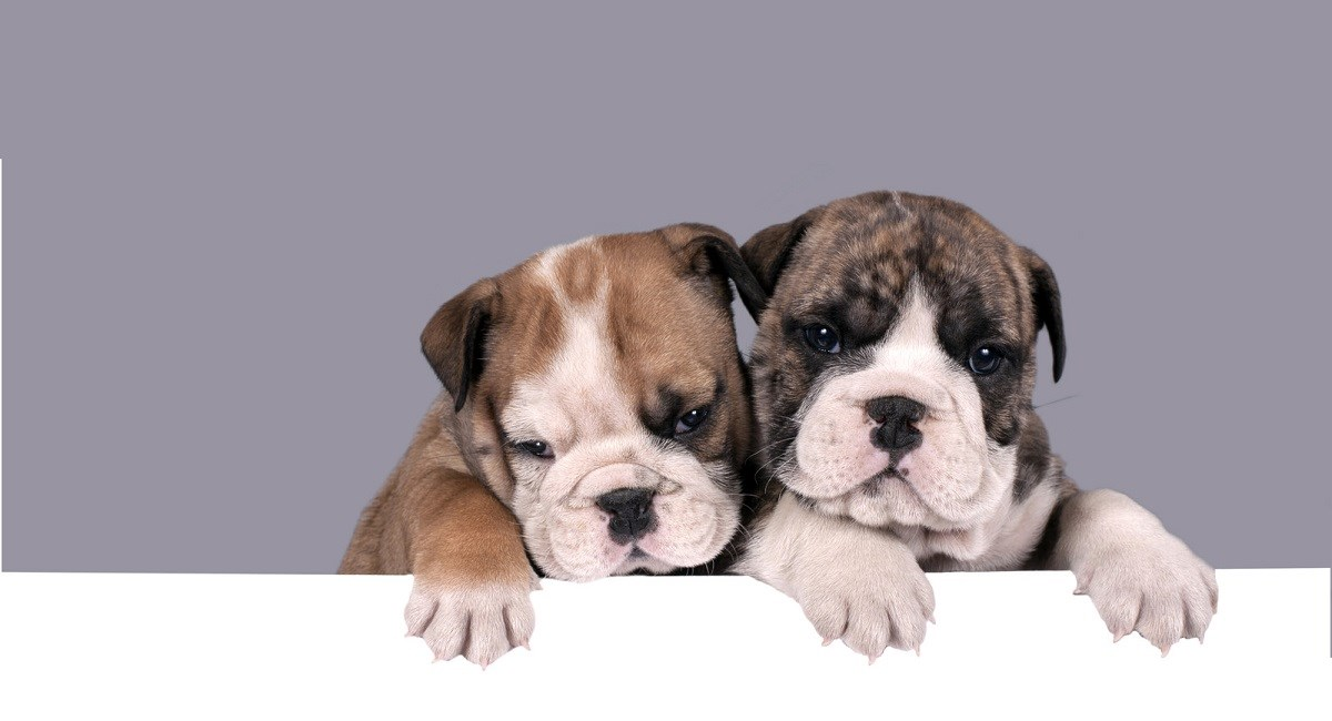 Two English Bulldog puppies peering over a table edge