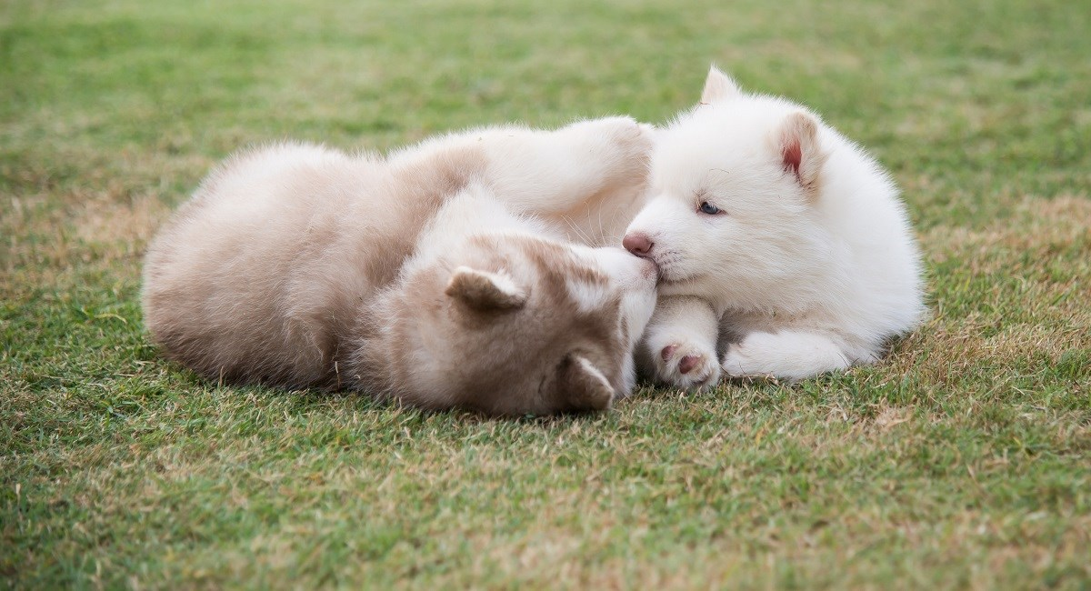Two Siberian Husky puppies playing on the grass