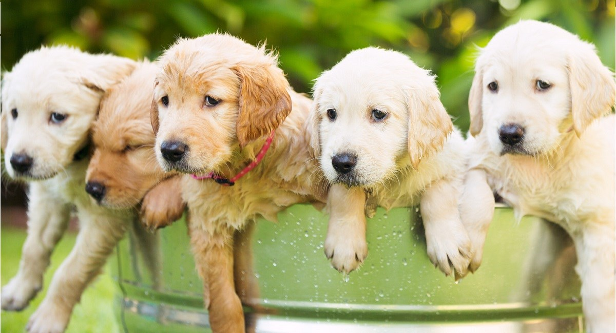 Four Golden Retriever puppies escaping a water tub