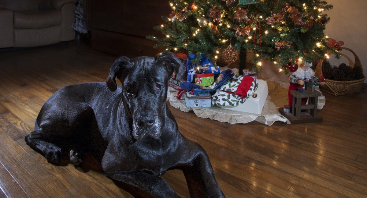 Great Dane with Christmas tree