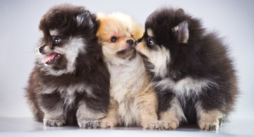 Three pomeranian puppies