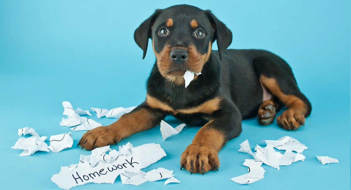 Rottweiler puppy with torn up homework page