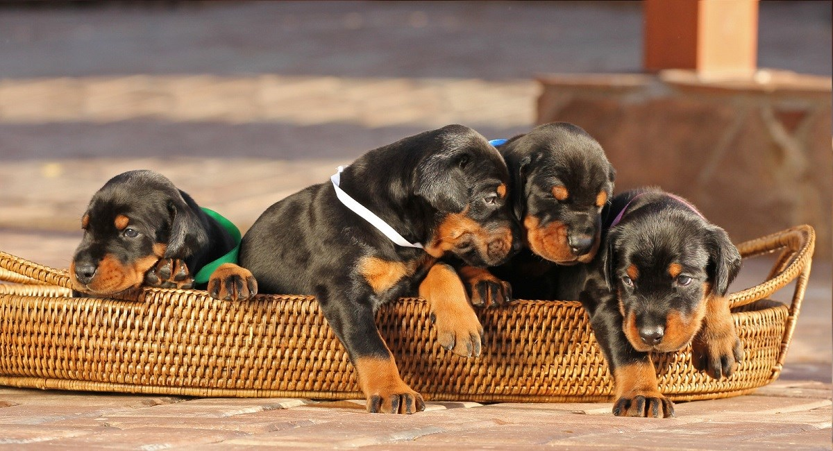 Doberman Pinscher puppies in a basket
