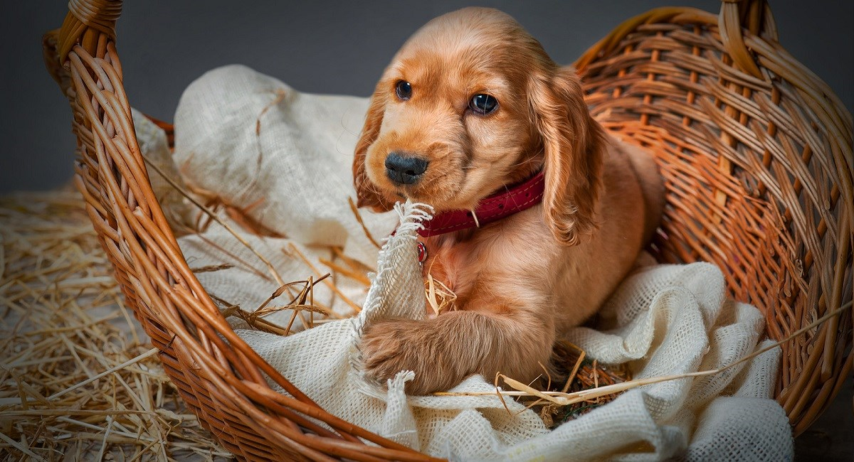 Red Cocker Spaniel puppy in a basket