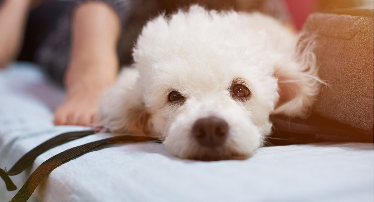 Jealous looking white poodle puppy