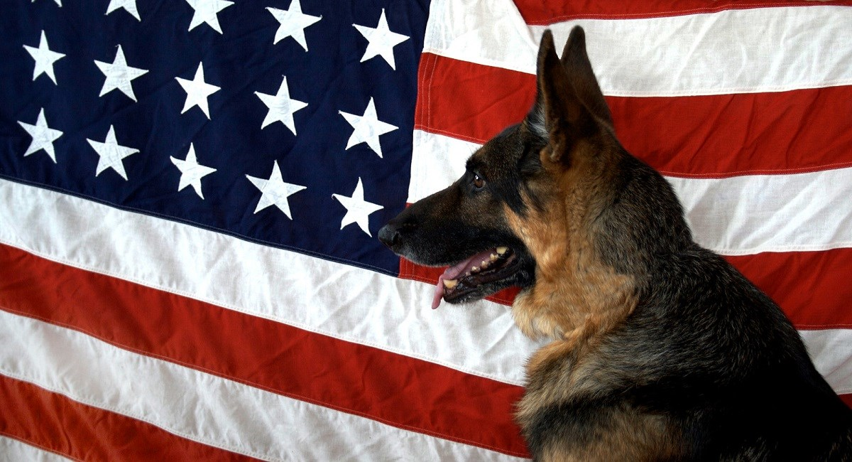 German Shepherd Dog gin front of American flag