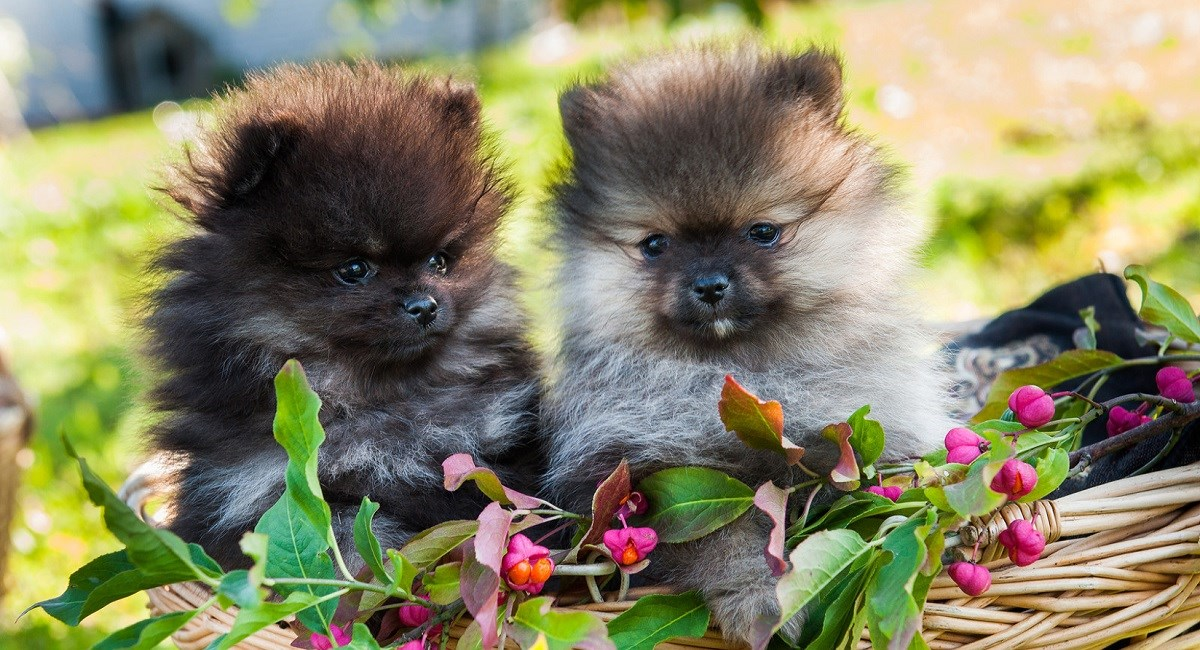 Two lovable Pomeranian puppies in basket